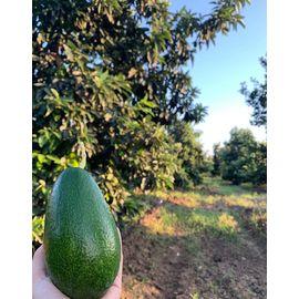 Avokado Bahçemizden 5 Adet 220 270 gr