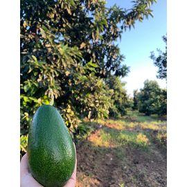 Avokado Bahçemizden 10 Adet(220-280)gr
